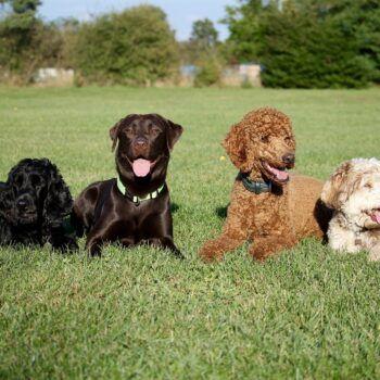 Fyra hundar ligger bredvid varandra på en gräsmatta.